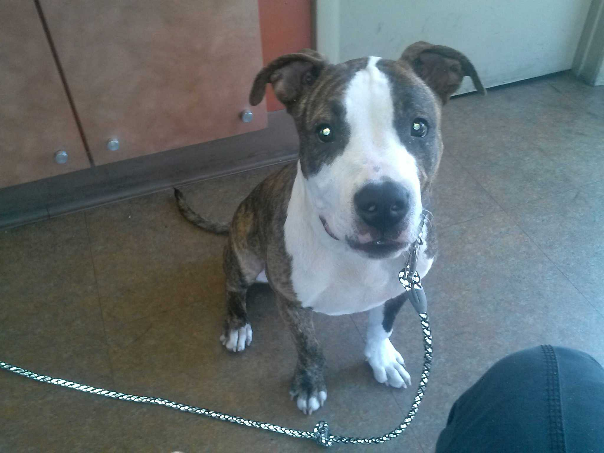 Gallery images and information boxer great dane pitbull mix