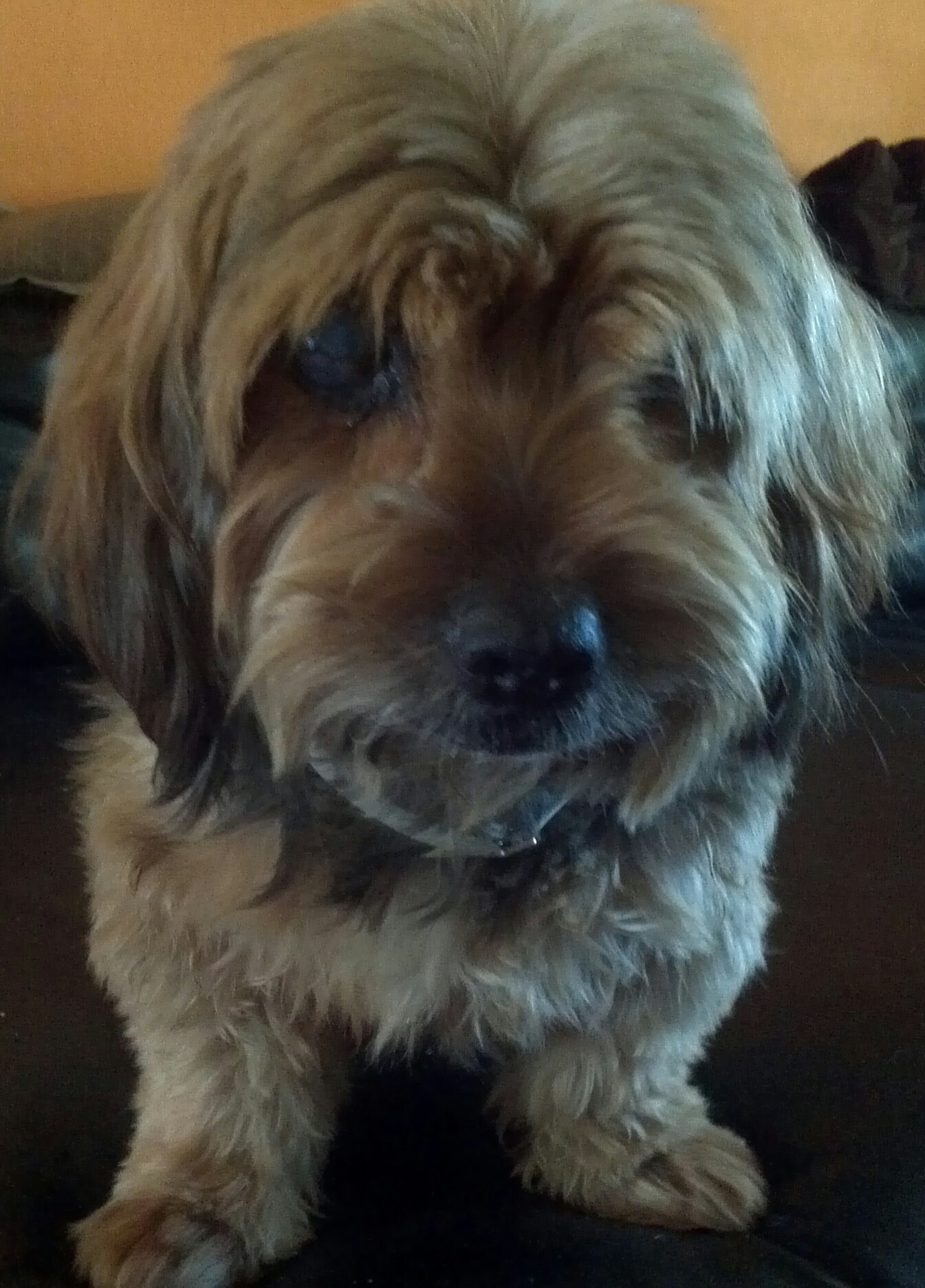 courtesy postings destiny for dogs not for profit c  my is tommy and i am 8 years old i was an owner surrender i am blind but i hear and listen very well i am eager to please you and
