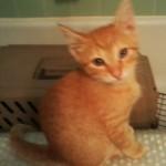 Orange Kitty 01